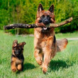 herder met pup